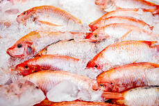 Bunch of raw frozen fish on ice